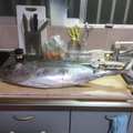 skaさんのキハダマグロの釣果写真