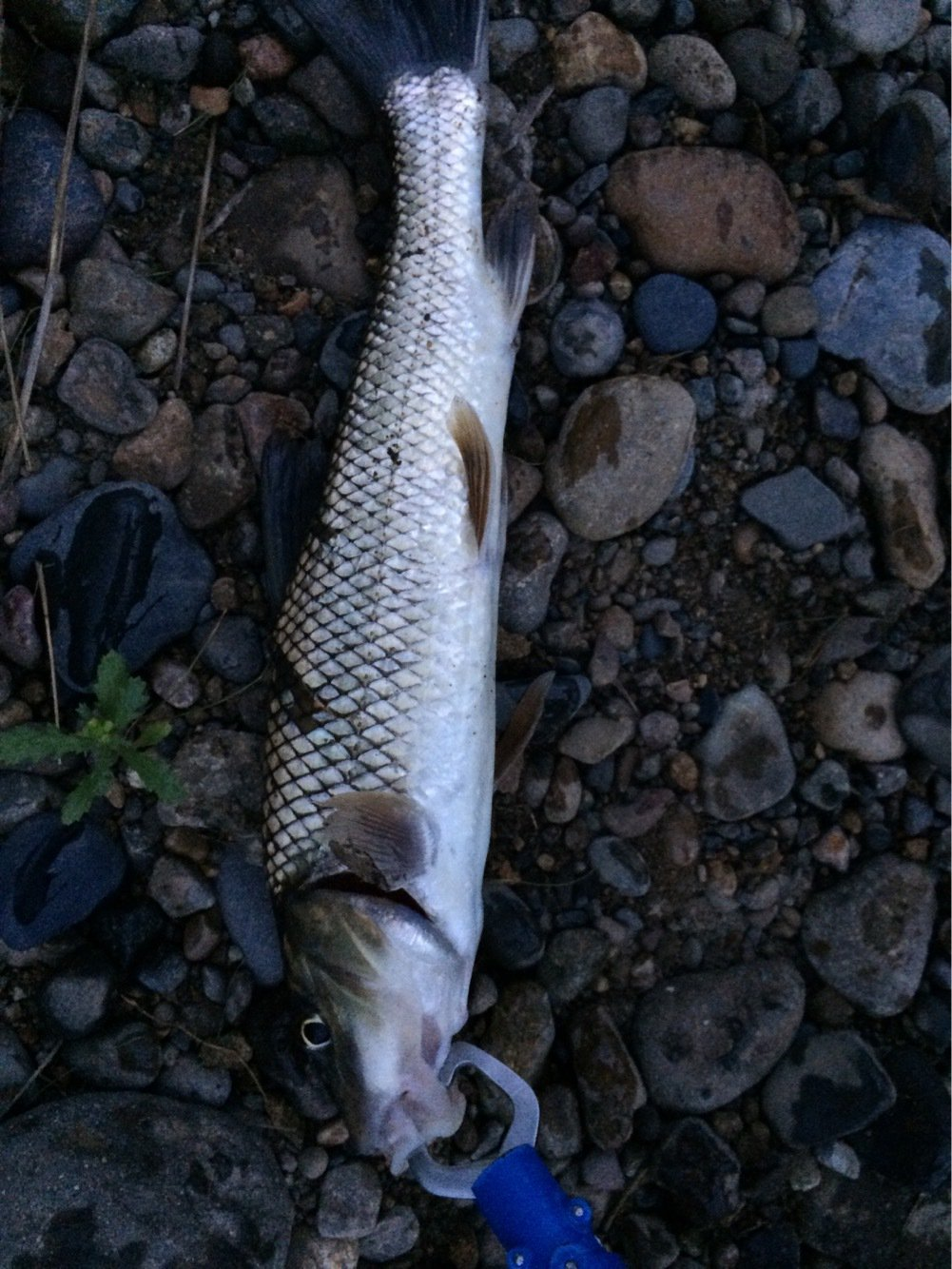シーアツさんの投稿画像,写っている魚はニゴイ