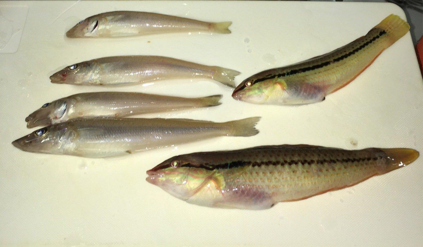 mmdさんの投稿画像,写っている魚はシロギス