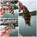しんいちさんの香川県坂出市でのタケノコメバルの釣果写真