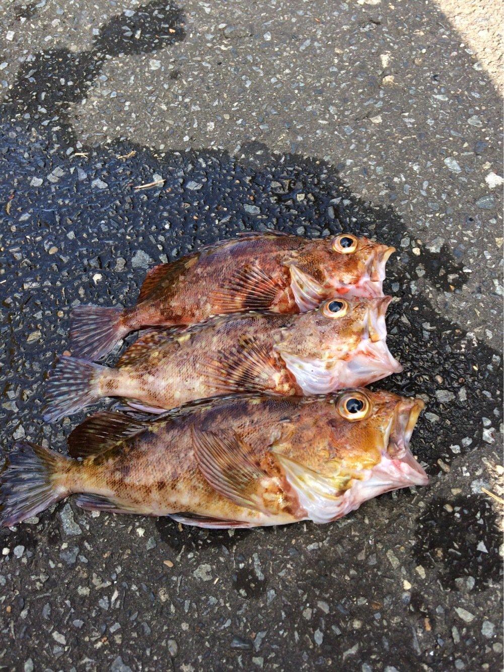 もりたさんの投稿画像,写っている魚はカサゴ