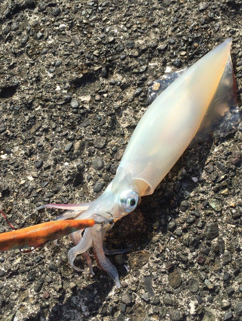 エメラルダス92さんの投稿画像,写っている魚はアカイカ