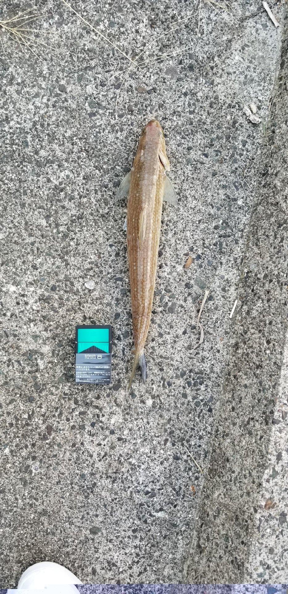 細見浩之さんの投稿画像,写っている魚は