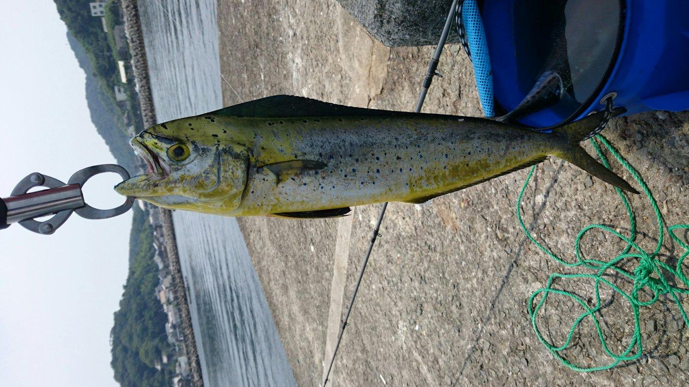 あっきーさんの投稿画像,写っている魚はシイラ