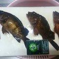 凛さんの三重県四日市市でのカサゴの釣果写真
