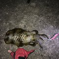 波止場太郎さんの徳島県鳴門市でのアオリイカの釣果写真