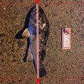 www Ryoさんの青森県北津軽郡での釣果写真