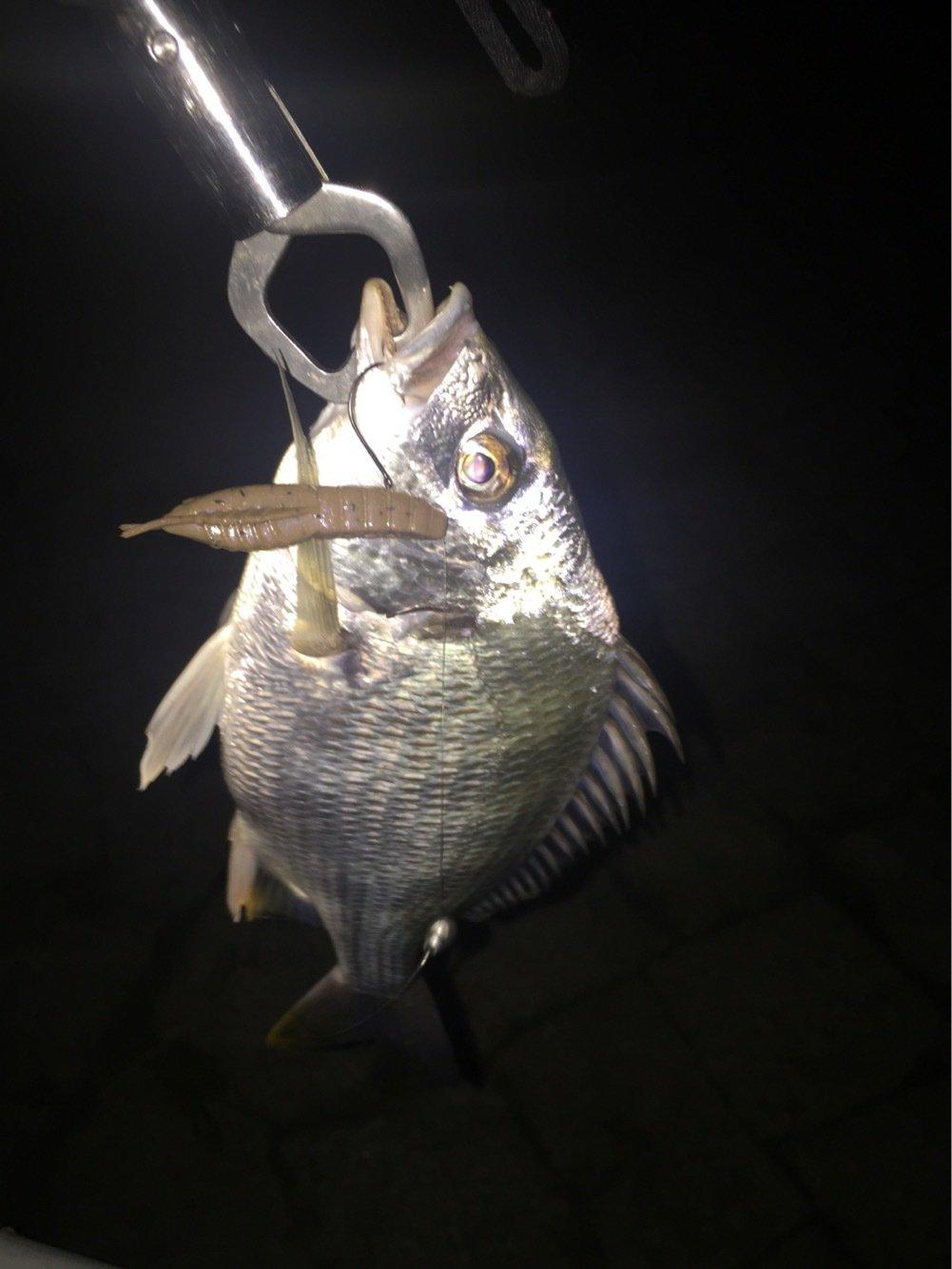 たつろうさんの投稿画像,写っている魚はキチヌ