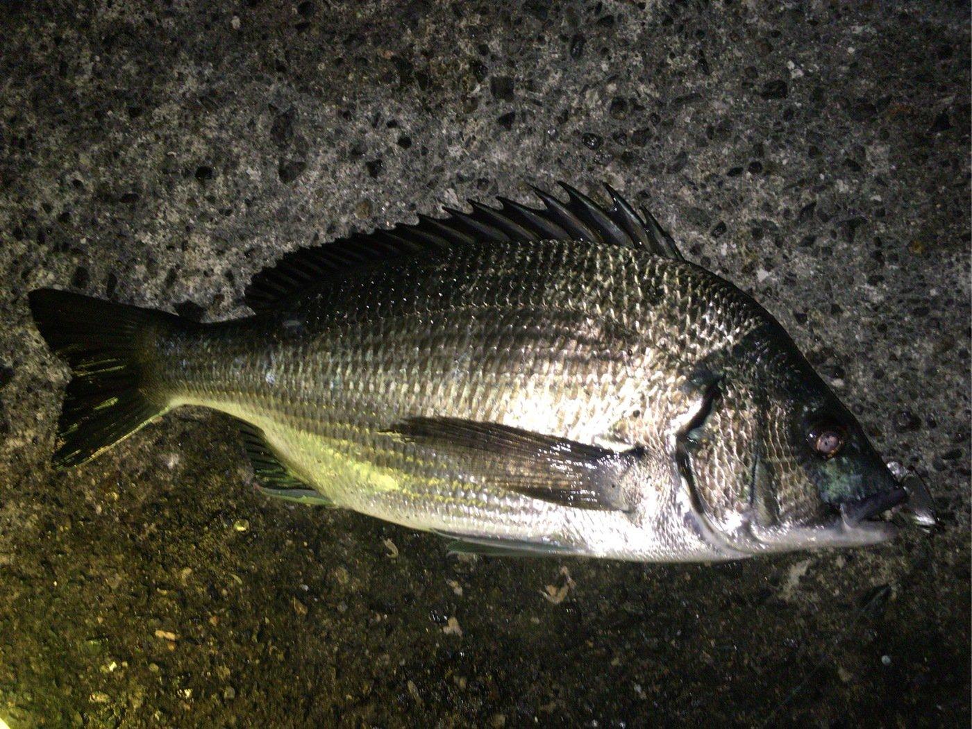釣りでもしようさんの投稿画像,写っている魚はクロダイ