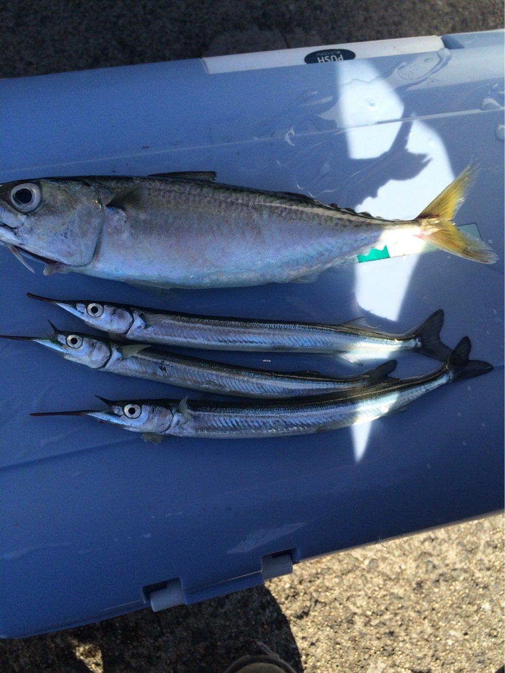 ローレルさんの投稿画像,写っている魚はサヨリ