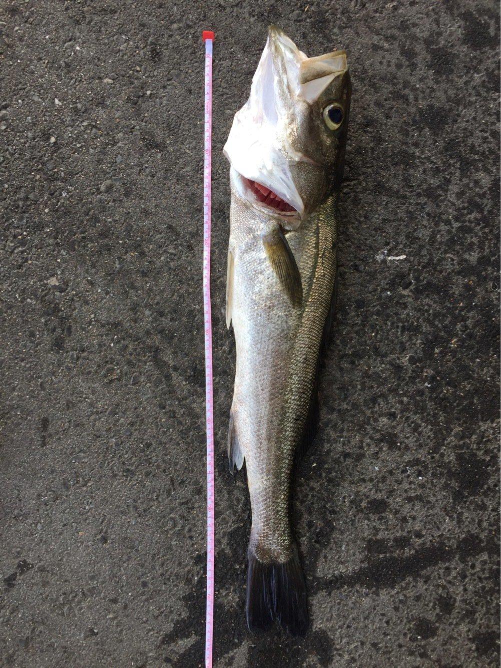 うんこさんの投稿画像,写っている魚はスズキ