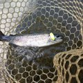 しらふさんの千葉県富里市での釣果写真