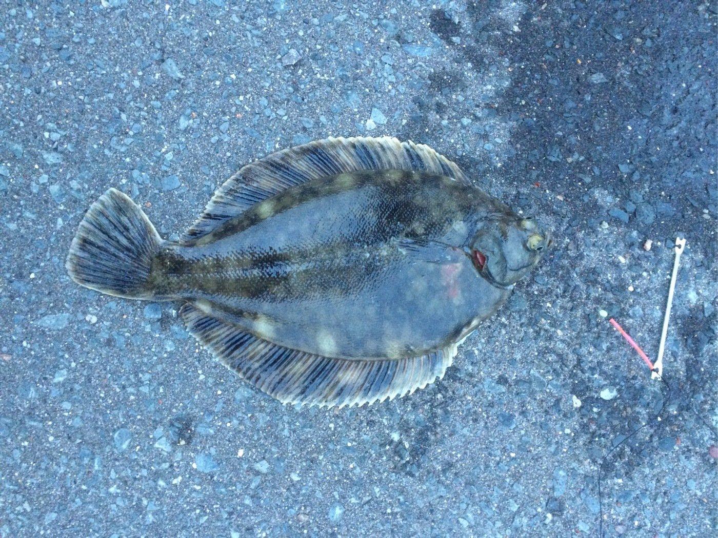 Citroënさんの投稿画像,写っている魚はカレイ