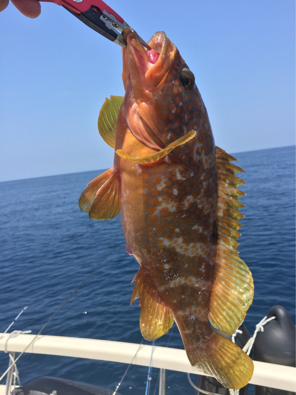 たつさんの投稿画像,写っている魚はキジハタ