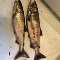 タカさんの宮城県岩沼市での釣果写真