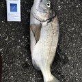 KGさんの千葉県安房郡でのクロダイの釣果写真