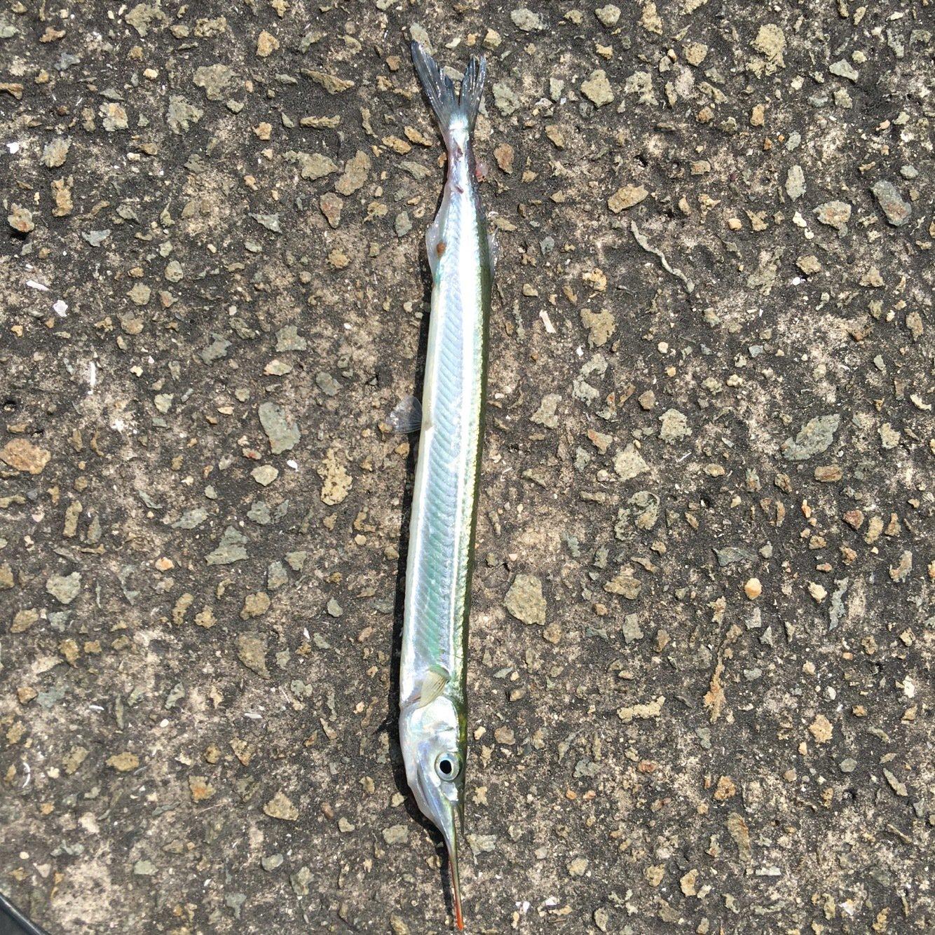 まあさんの投稿画像,写っている魚はサヨリ