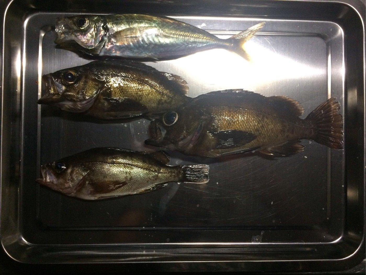 クラゲさんの投稿画像,写っている魚はメバル