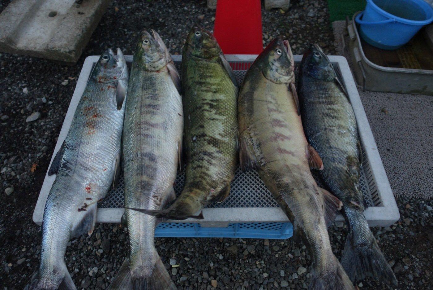 なはなは太郎さんの投稿画像,写っている魚はサケ
