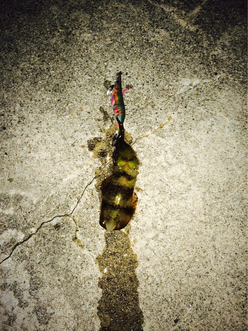 リョウガップルさんの投稿画像,写っている魚はアオリイカ