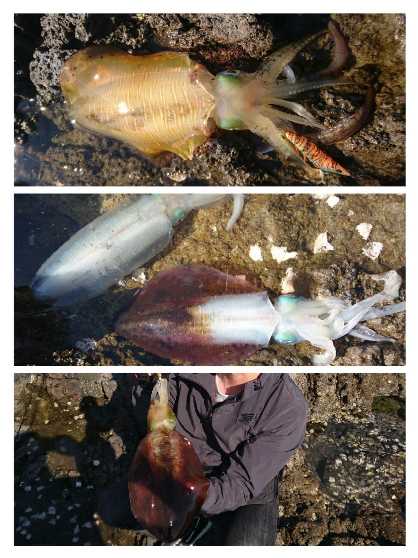 シナンジュさんの投稿画像,写っている魚はアオリイカ