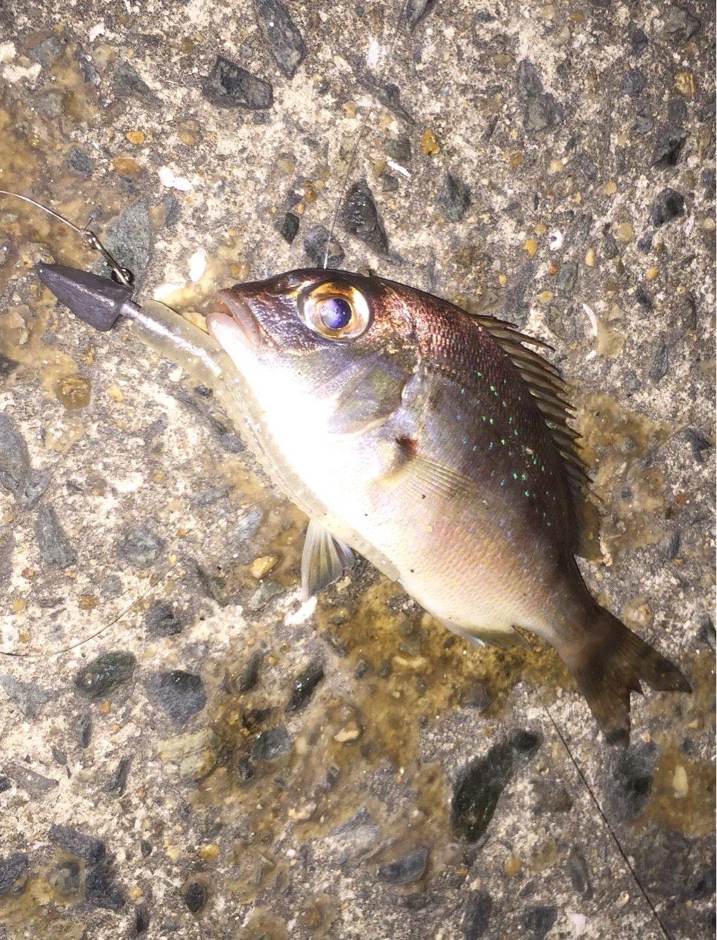 UGTさんの投稿画像,写っている魚はマダイ