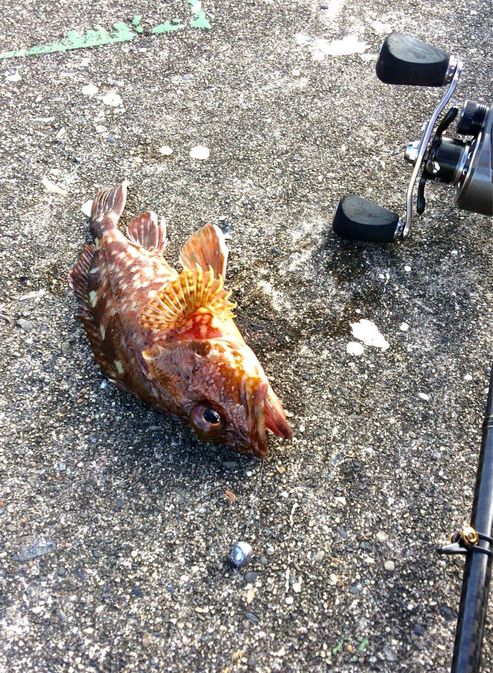 みさんの投稿画像,写っている魚はカサゴ