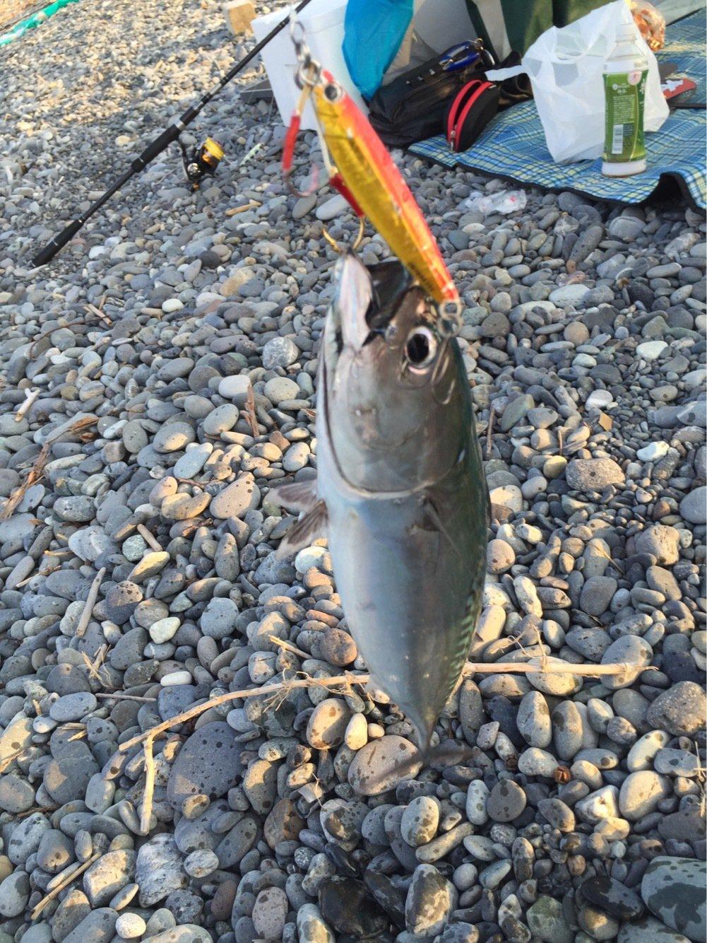 ただし。さんの投稿画像,写っている魚はカツオ