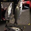 テラざわすさんの徳島県小松島市でのスズキの釣果写真