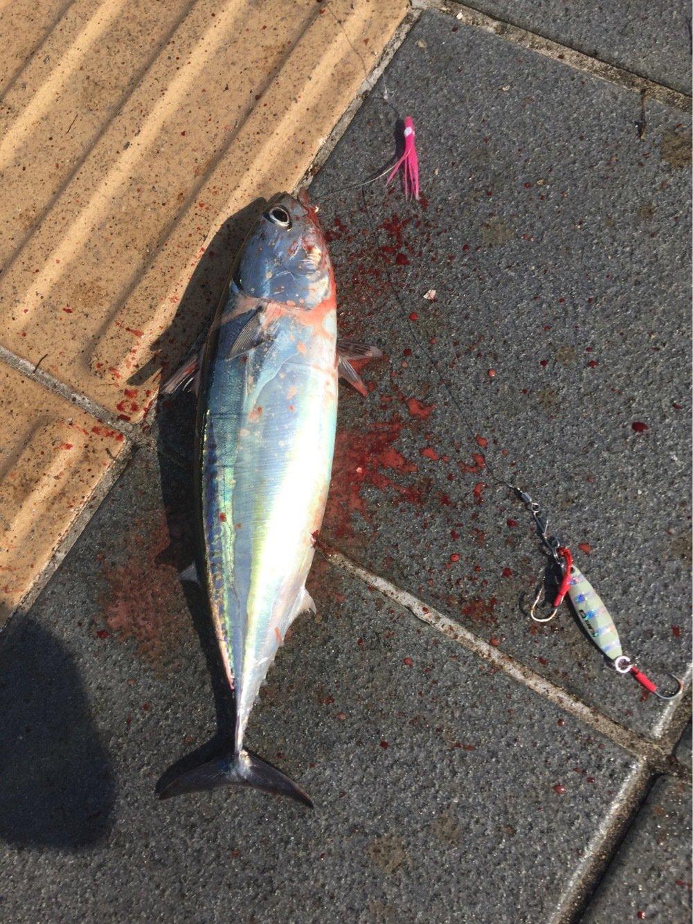 しーんさんの投稿画像,写っている魚はカツオ