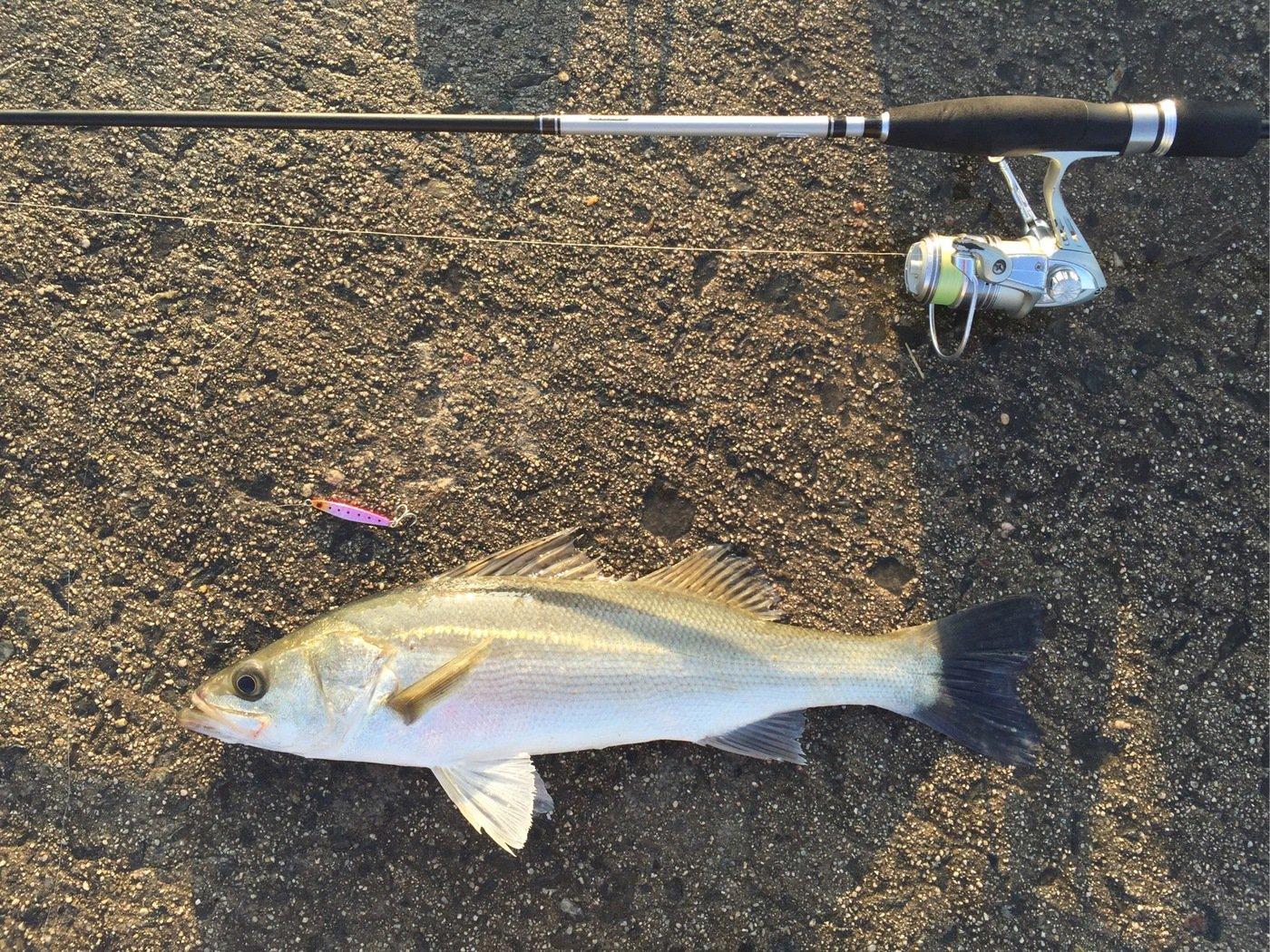 てつさんの投稿画像,写っている魚はスズキ