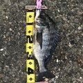赤イソさんの千葉県習志野市でのクロダイの釣果写真