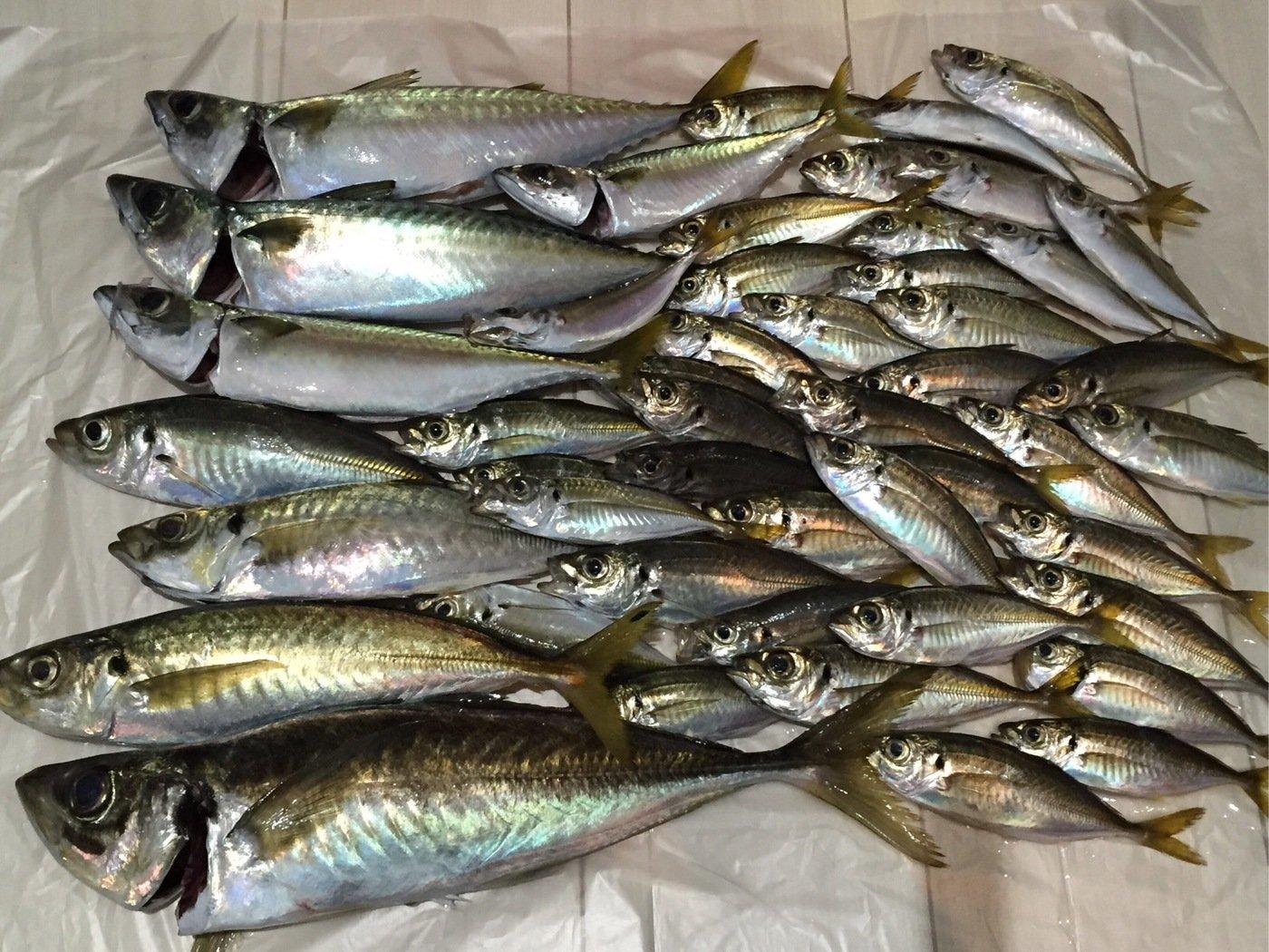 あさみさんの投稿画像,写っている魚はアジ
