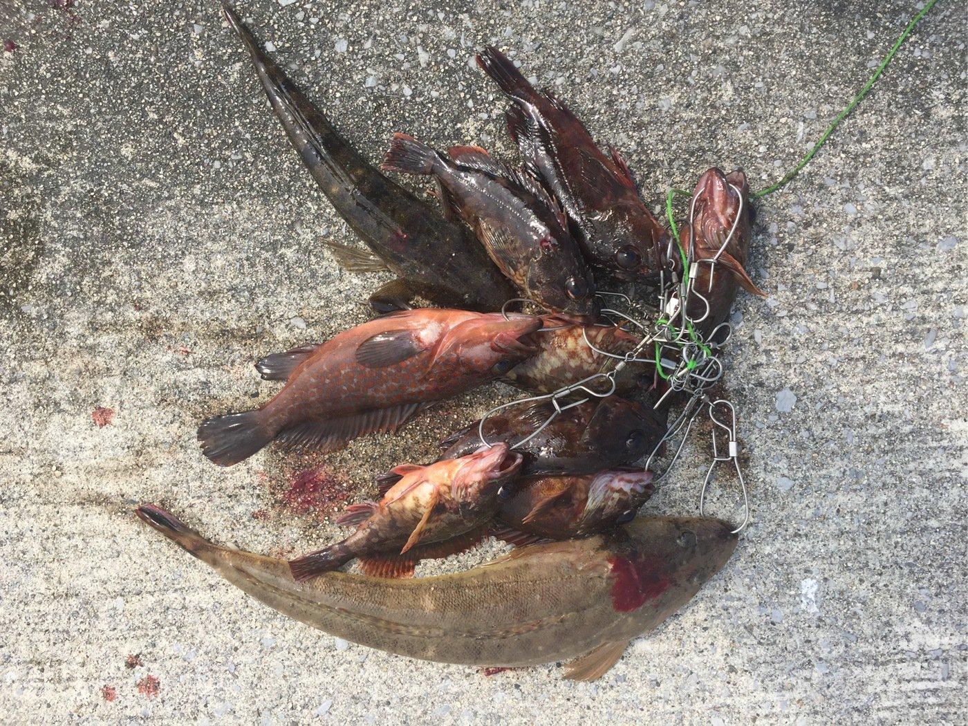 はたかつさんの投稿画像,写っている魚はコチ