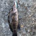 しょーぺーさんの鹿児島県鹿児島市でのオオモンハタの釣果写真