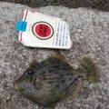 BBさんの神奈川県でのカワハギの釣果写真