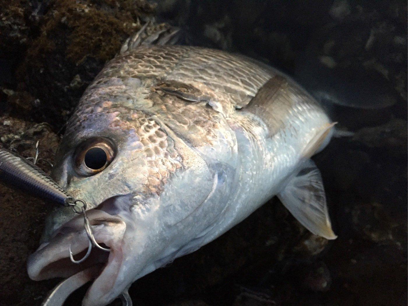 そーすけさんの投稿画像,写っている魚はキチヌ