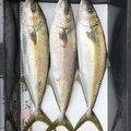 era_1221さんの鳥取県岩美郡での釣果写真