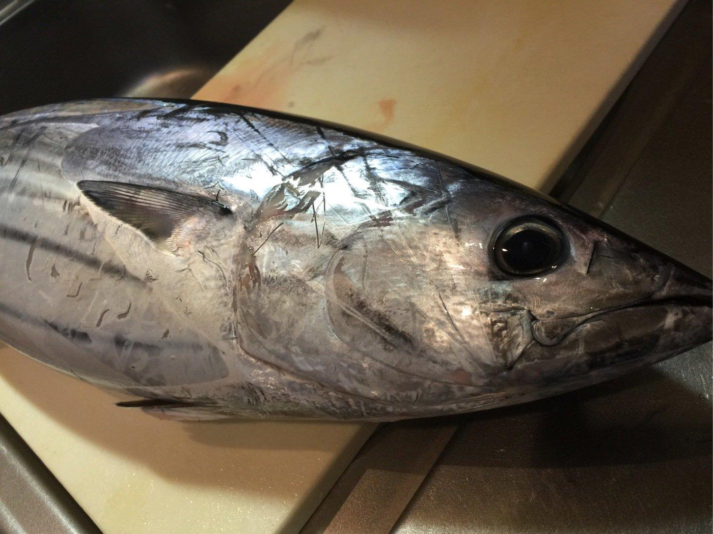 fish hunter 8号さんの投稿画像,写っている魚はカツオ