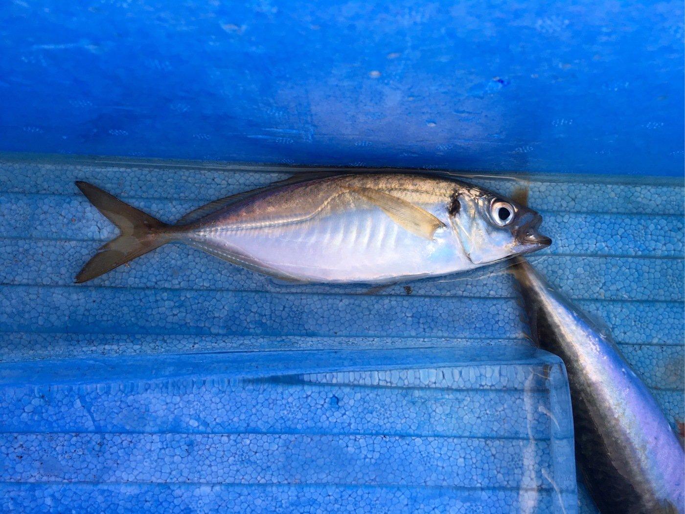 クンクンショウさんの投稿画像,写っている魚はアジ