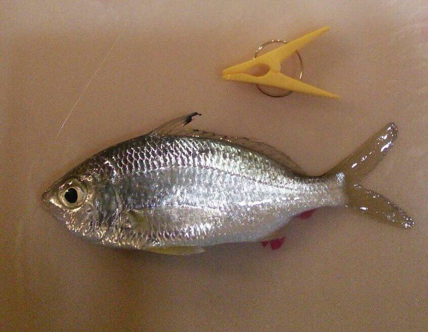 やまさんの投稿画像,写っている魚はアジ