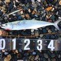 ねるまさんの福井県三方郡での釣果写真