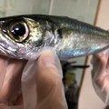 Kiribayashiさんの長崎県南松浦郡での釣果写真