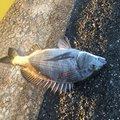 鹿島龍太朗さんの千葉県館山市でのクロダイの釣果写真