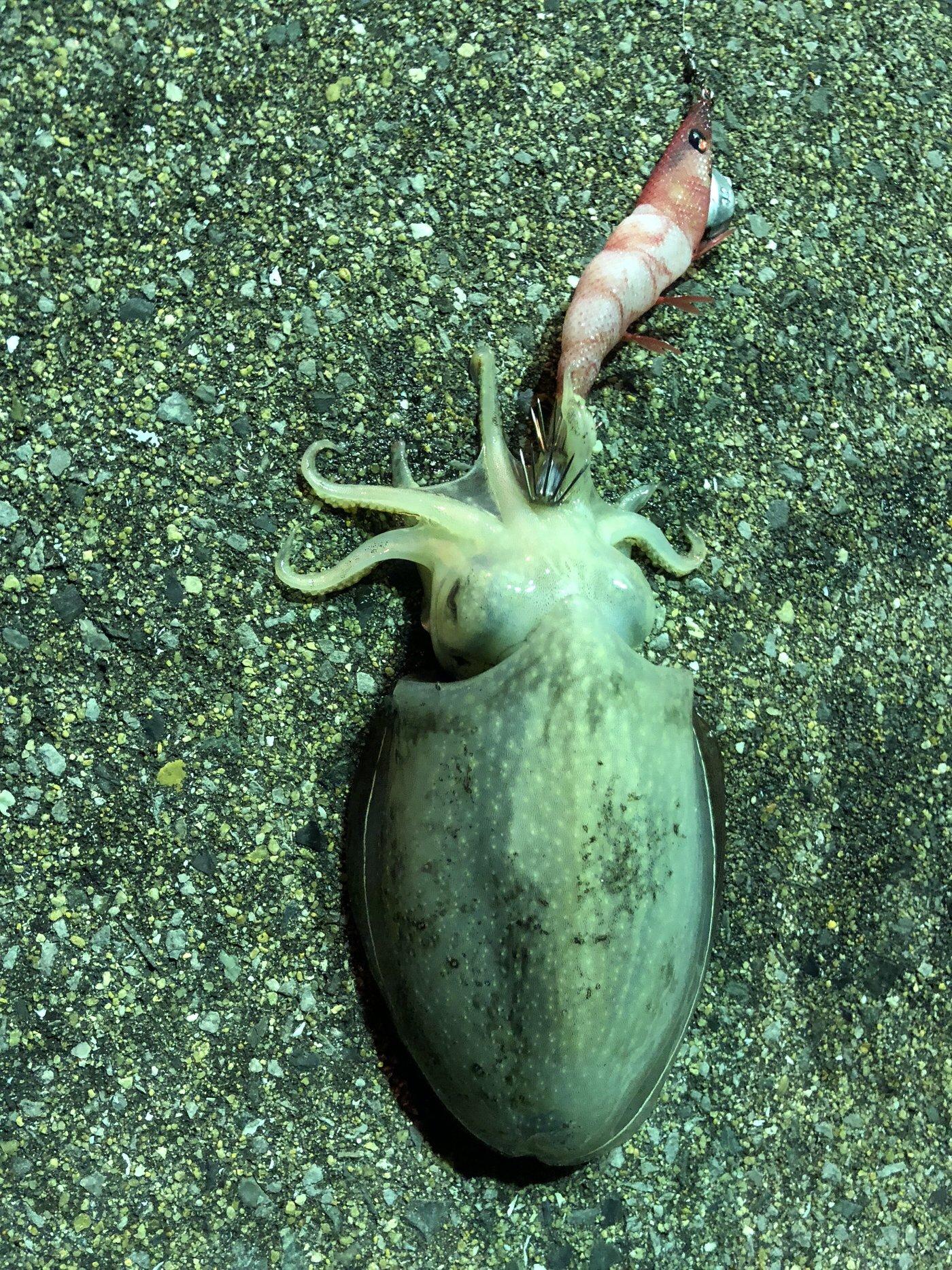 きょんさんの投稿画像,写っている魚はコウイカ