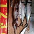 きむさんの青森県むつ市での釣果写真