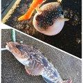 へたっぴ三ちゃんさんの宮城県亘理郡でのアイナメの釣果写真