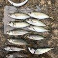wo-tannyさんの三重県鳥羽市でのムツの釣果写真