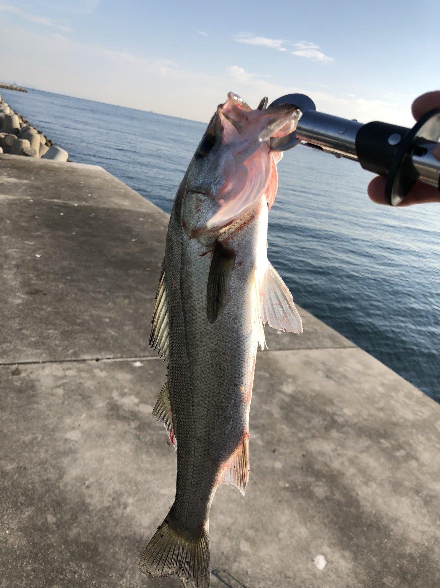 HACCHANさんの投稿画像,写っている魚はスズキ