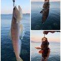 ケーシさんの鹿児島県鹿児島市でのオオモンハタの釣果写真